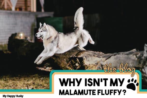 why-isn't-my-malamute-fluffy