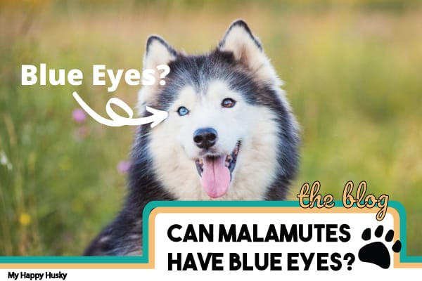 Can Malamutes Have Blue Eyes? The Surprising Answer!