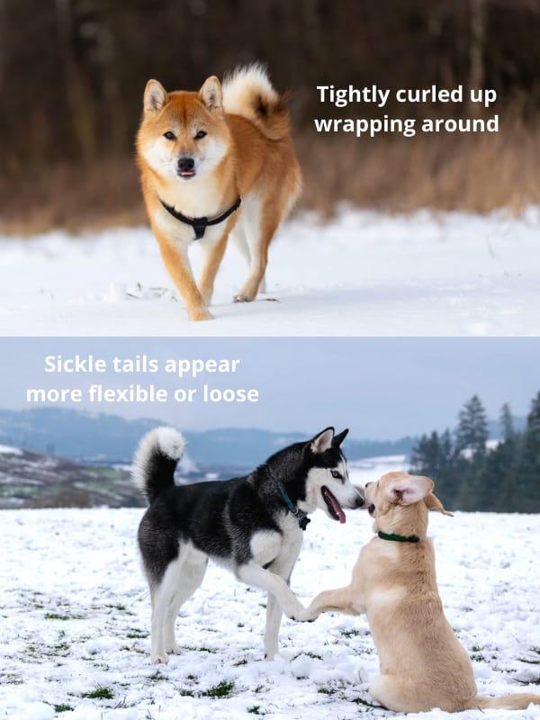 husky-tail