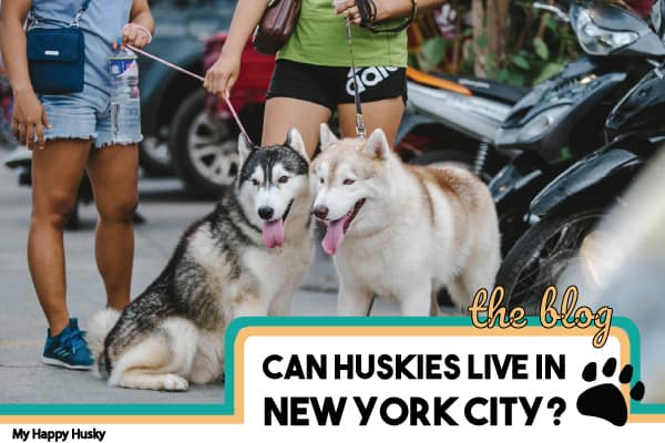 can-huskies-live-in-new-york
