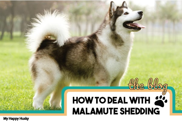 How To Deal With Malamute Shedding: Essential Tips To Know