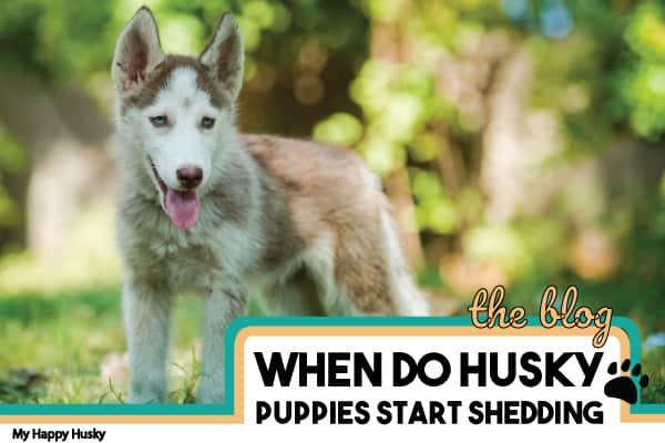When Do Husky Puppies Start Shedding? Puppy Shedding Tips!