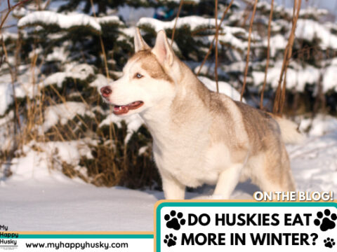 Do Huskies Need To Eat More In Winter? We Found Out