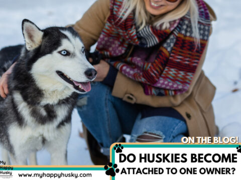 Do Huskies Get Attached To One Person? We Found Out