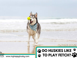 DO-HUSKIES-LIKE-TO-PLAY-FETCH.png