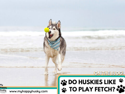 Do Huskies Like To Play Fetch? The Surprising Answer…