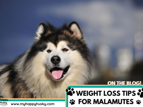 How To Help a Malamute Lose Weight: 5 Great Tips