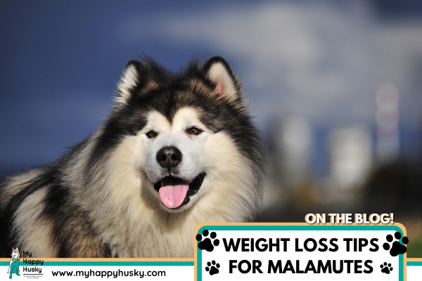 how-to-help-malamute-lose-weight.png