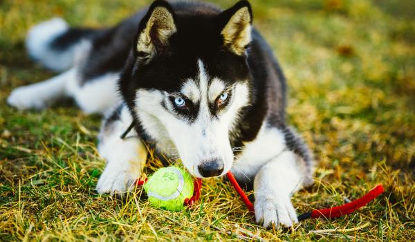 husky playing fetch