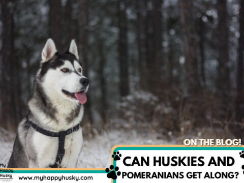 Do Huskies Get Along With Pomeranians? The Honest Truth