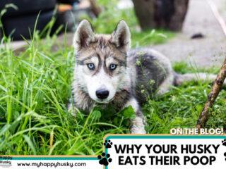 do-huskies-eat-their-own-poop.png