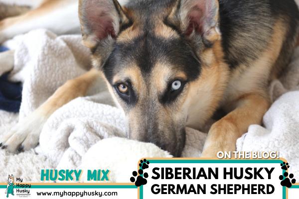 husky-german-shepherd-mix-gerberian-shepsky