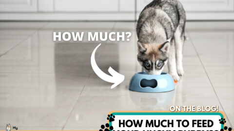 HOW-MUCH-TO-FEED-YOUR-HUSKY-PUPPY