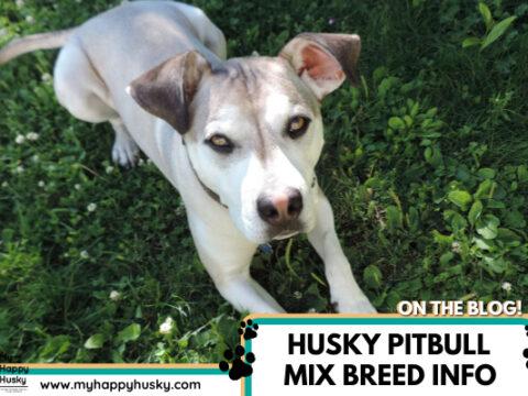 Husky Pitbull Mix: The No.1 Pitsky Guide! (with photos)