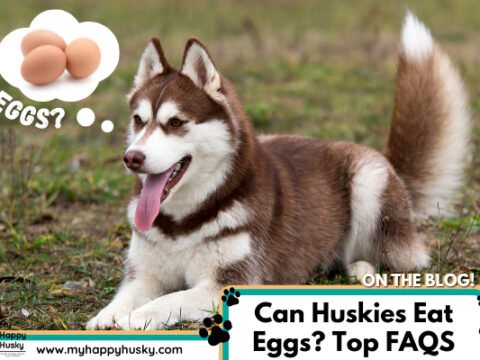 Can Huskies Eat Eggs? Cooked? Raw? Egg FAQ Guide